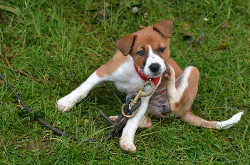 Como Curar Sarna Em Cachorro