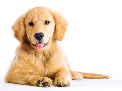 cute young golden retriever dog